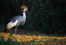 Free Crowned Crane Royalty Free Stock Image - 4731226