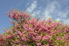 Almond Tree With Blooming Pink Flowers Stock Photos