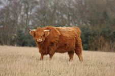Free Highland Cow Royalty Free Stock Image - 4733496