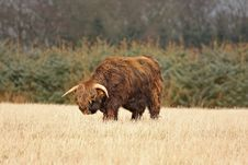 Free Highland Cow (Bull) Stock Photo - 4733520