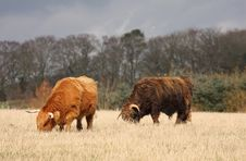 Free Highland Cows Royalty Free Stock Photos - 4733548