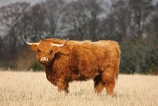 Free Highland Cow Royalty Free Stock Photography - 4733557