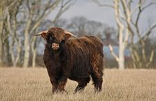 Free Highland Cow (Bull) Royalty Free Stock Images - 4733569