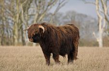 Free Highland Cow (Bull) Royalty Free Stock Photo - 4733585