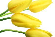 Free Spring Tulips Royalty Free Stock Image - 4733816