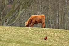 Highland Cow And Pheasant Stock Photo