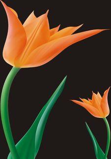 Free Tulips Stock Photo - 4734350
