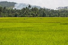 Free Rice Fields Royalty Free Stock Photography - 4734397