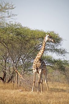 Giraffe In The Kruger Stock Photography