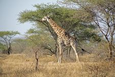 Giraffe In The Kruger Royalty Free Stock Photo