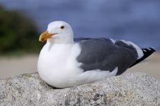 Free Seagulls Royalty Free Stock Photos - 4735558