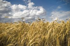 Field Of Gold Royalty Free Stock Photos