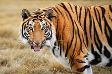 Free Snarling Siberian Tiger Royalty Free Stock Photography - 4736227