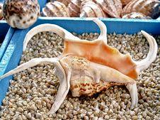 Free Seashell Lambis Truncata Royalty Free Stock Image - 4736256