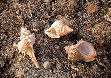 Free Seashells On Seaweed Royalty Free Stock Photo - 4736275