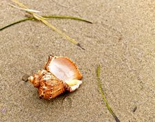 Free Shell On Coast Sand Royalty Free Stock Images - 4736309