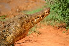 Free Hungry Crocodile Royalty Free Stock Photo - 4737605