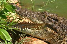 Australian Crocodile. Stock Photography