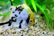 Free Tropics Goldfish Closeup Royalty Free Stock Image - 4738116
