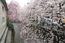 Free Kyoto Cherry And River Royalty Free Stock Photos - 4738618