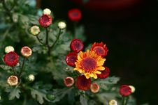 Free Red Chrysanthemum Will Bloom Stock Photography - 4739252