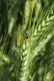 Free Lady Bug On Cultural Wheat Stock Photography - 4739632