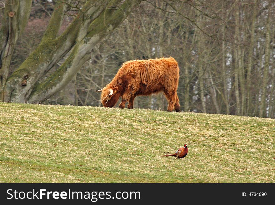 Highland Cow and Pheasant