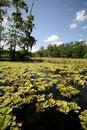 Free Lily Pad Pond Stock Photos - 4740543