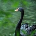 Free Black Swan Royalty Free Stock Image - 4745216