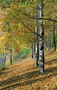 Free Birchwood In The Autumn. Royalty Free Stock Images - 4748079