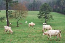 Free Grazing Cattle Royalty Free Stock Image - 4740266