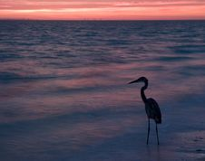 Free Great Blue Heron Wading In Ocean At Sunrise Stock Photo - 4740440