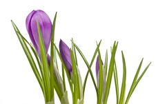 Violet Crocuses Stock Photography