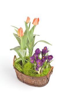 Free Violet Crocuses And Orange Tulips Stock Photos - 4740803
