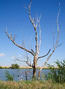 Free Dry Tree Royalty Free Stock Image - 4741276