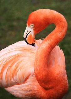 Free Tropical Bird Flamingo Royalty Free Stock Photo - 4741775
