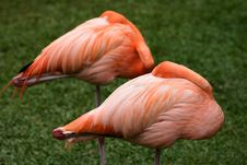 Free Two Flamingos Royalty Free Stock Photo - 4741785