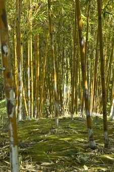 Free Bamboo Grove Royalty Free Stock Photo - 4742105