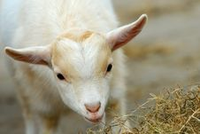 Cute Baby Goat In Spring Stock Photo