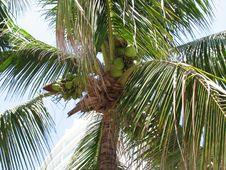 Free Coconut Royalty Free Stock Photo - 4742455