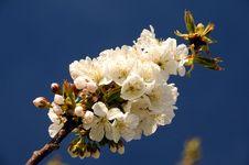 Free Cherry Stock Photo - 4743330
