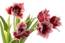 Free White-red Tulip Stock Images - 4744124