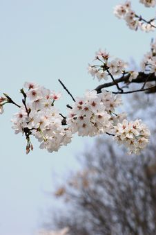 Free Cherry Flower In Full Bloom Stock Photography - 4744202