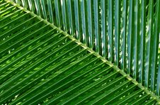 Free Leaf Of A Palm Tree Royalty Free Stock Photos - 4744498