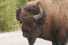 Free Bison-buffalo Stock Image - 4744571