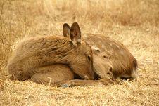 Free Elk Royalty Free Stock Photos - 4744648