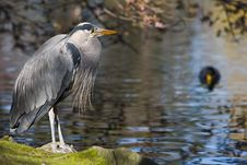Free Great Blue Heron Royalty Free Stock Image - 4744716