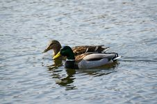 Free Two Ducks Float In Lake Stock Photo - 4744800