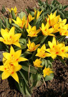 Free Tulip Royalty Free Stock Photography - 4744957