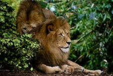 Free Lions Royalty Free Stock Photo - 4745565